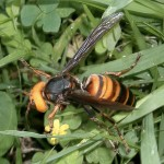 Asian Killer Hornets in Switzerland