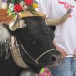 Fighting cows, flower-eating goats: The Crans-Montana désalpe 2014