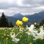 Swiss narcissus in full bloom