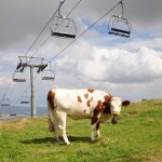 Swiss army flies in to rescue cows from heatwave