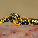 Wasp nests growing faster than normal