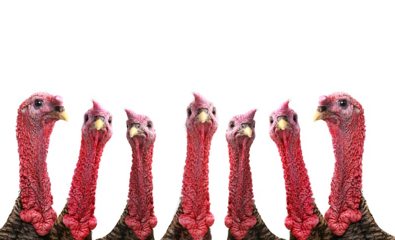How an american bird ended up being named after turkey for Turkey for 12
