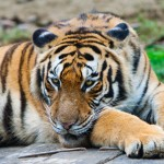 Rising tiger numbers are nothing to cheer about