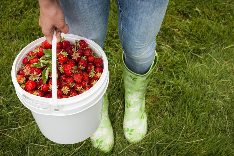 Strawberry season dates