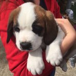 VIDEO: Two litters of Grand Saint Bernard puppies arrive in Switzerland