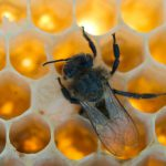 Switzerland's organic honey myth – and how bees are paying the price