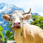 Swiss cow horn vote this weekend