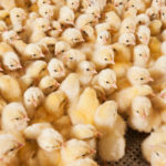 Switzerland set to ban the grinding of live baby chickens