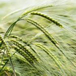 Swiss government approves further GM crop trials