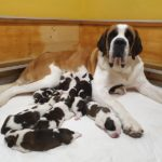 New Grand Saint Bernard puppies arrive in Switzerland