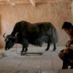 FILM: LUNANA – A YAK IN THE CLASSROOM  ***1/2