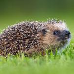 Robot mowers harmful to hedgehogs, according to study
